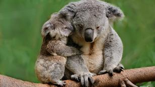 A koalákat is a kihalás szélére sodortuk?