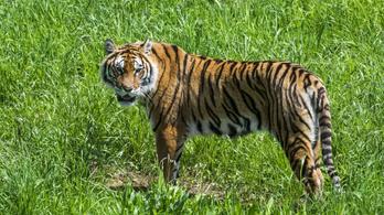 15 év után először lett több a tigris Bangladesben