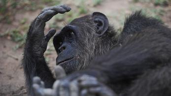 A csimpánzok a fához csapják, majd megeszik a teknősöket
