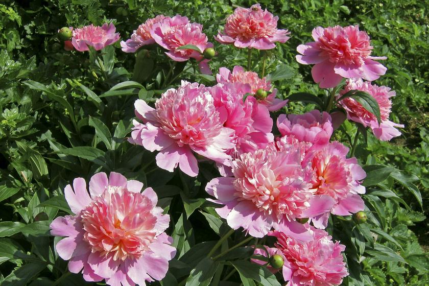 Gyönyörű nyári virágok, amiket nem lehet kiirtani: 3 növény, ami mindent kibír