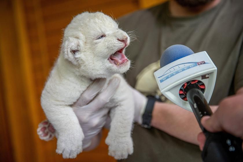 Hivatalosan is bemutatkozott a fehér oroszlánkölyök: imádni való fotók készültek