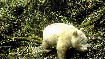 Először fotóztak le vadon élő albínó pandát Kínában