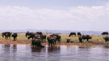 Zimbabwéban már lehet nyíllal bivalyra vadászni