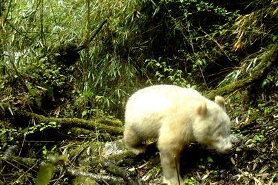 albino-panda