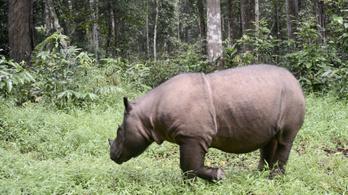 Elpusztult Tam, Malajzia utolsó hím szumátrai orrszarvúja