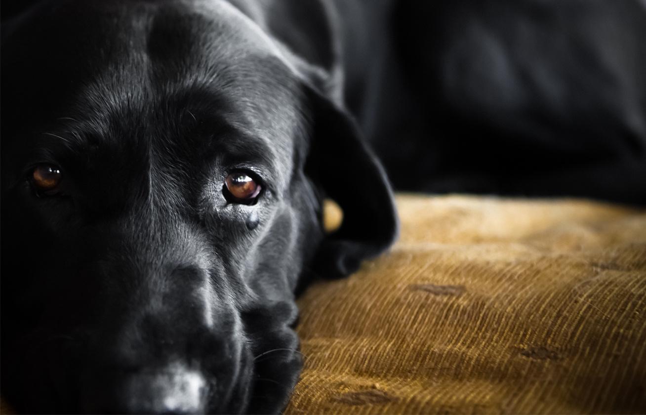 gyaszolo kutya cover