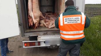 24 fok volt a féldisznókkal teli román teherautóban