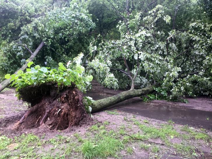 Kidőlt fa Újpalotán 2019. május 29-én