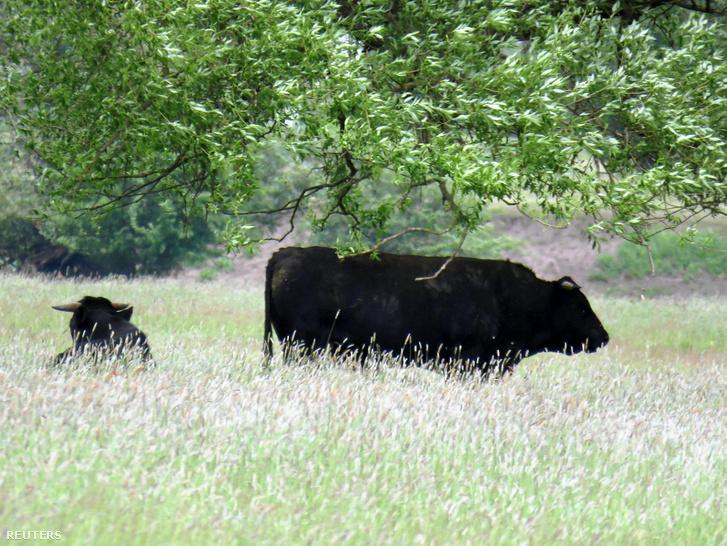 Szabadon élő lengyel marhák a Zakole Santockie természetvédelmi területen 2019. május 26-án