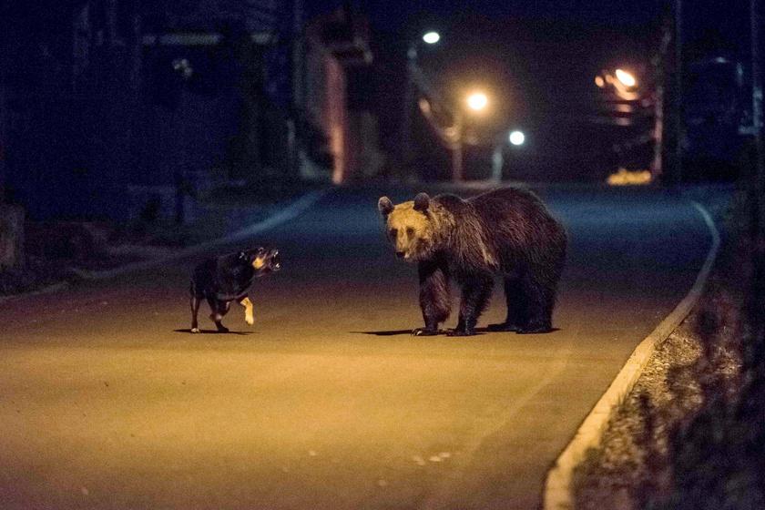 medve-kutya