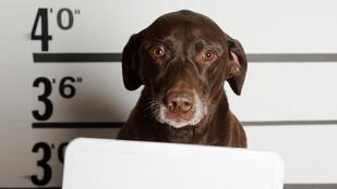 Bűnöző állatok: kémkedés, lopás, zaklatás, gyilkosság a vádiratokban