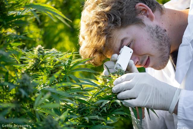 segíthetnek-e a marihuána fogyaszthatók a fogyásban