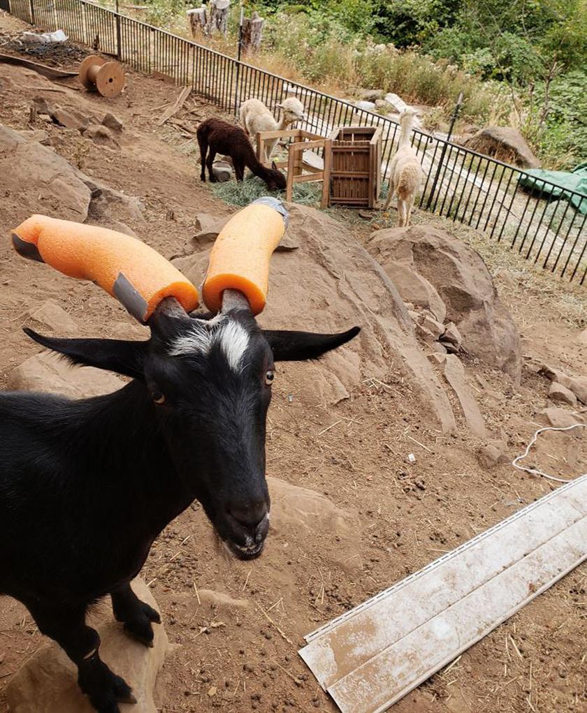 A különösen agresszív kecskék szarvának hegyénél össze is kell ragasztani, a szelídebb példányok esetében viszont az egyszerű ráhúzás is segít.
