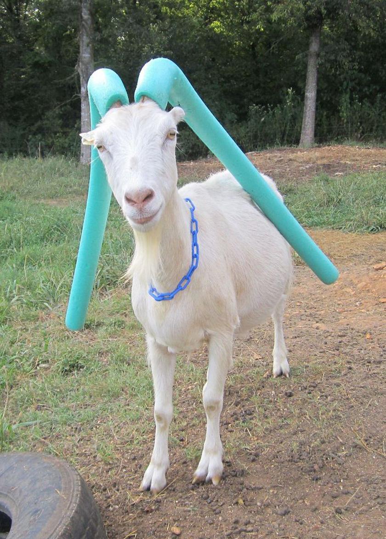 Mielőtt a vízinudlit ráhúzzák a kecskék szarvára, rendszerint méretre vágják, de van, aki egyszerűen hagyja lelógni a felesleget.