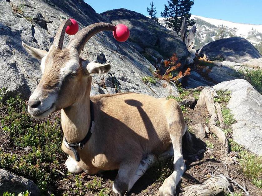 Hatékony, bár látványra talán még viccesebb megoldás lehet, ha a szarvak hegyét könnyű labdával tompítják.