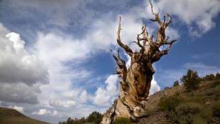 Csak néhány kiválasztott tudja, hol áll a világ legidősebb fája