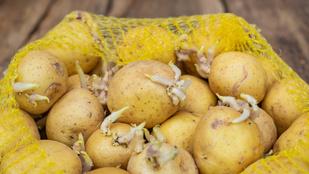Veszélyes felhasználni a kicsírázott krumplit?