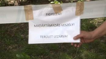 Agresszív varjak terrorizálják Józsefváros békés lakóit