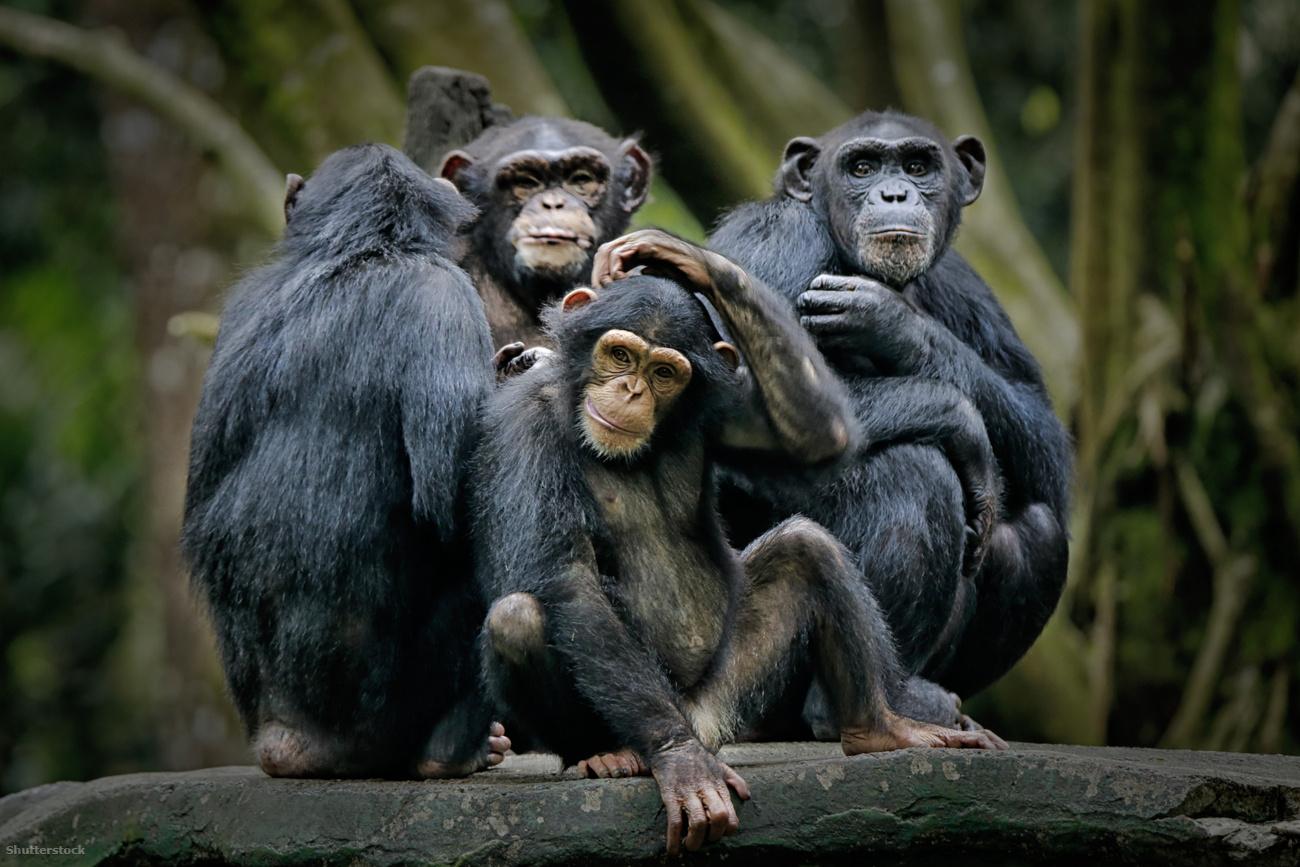 A kihalás szélére kerültek a csimpánzok