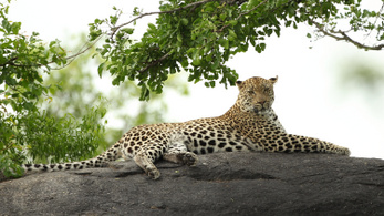 Leopárd ölt meg egy kétéves gyereket Dél-Afrikában