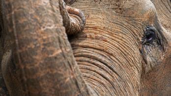 Megmérgeztek három elefántot egy olajpálma-ültetvény mellett