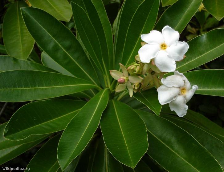 A Cerbera virága és levelei