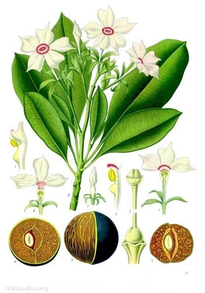 A Cerbera hajtása, virága és gyümölcse