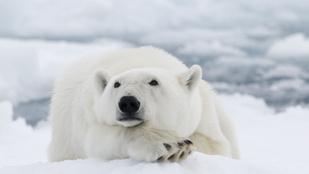 Jegesmedvék forradalmasíthatják a hőszigetelést