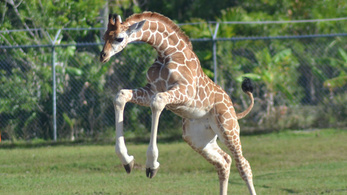 Villámcsapás - floridai zsiráfok 2:0