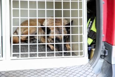Körte, a drogkereső kutya második otthonaként tekint a kutyaszállító ketrecre – beszállás után szinte azonnal kényelembe helyezi magát