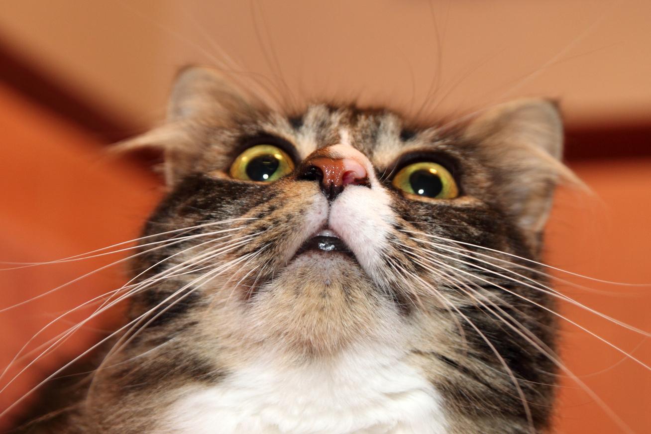meglepett-macska