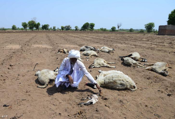 Indiai pásztor a hőségben elpusztult bárányai mellett, a Rabagadh falu melletti mezőn 2019. június 4-én
