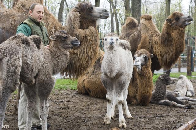 Csergő Árpád gondozó áll két kétpupú tevecsikó (Camelus bactrianus) mellett a Nyíregyházi Állatparkban