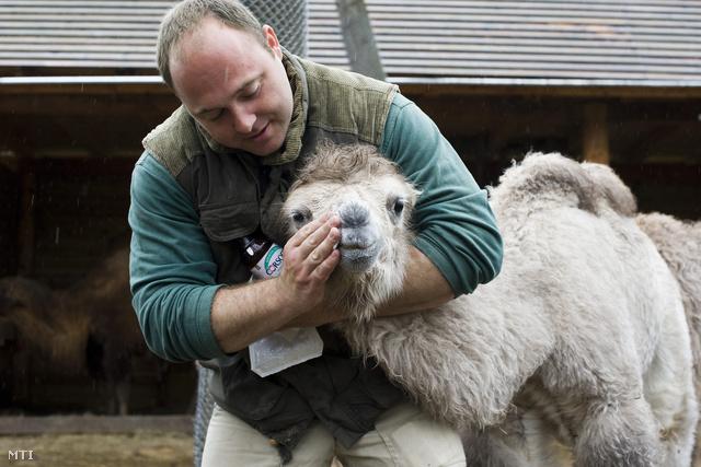 Csergő Árpád fertőtlenítős kendővel megtörli az egyik fehér tevecsikó száját