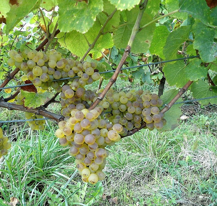Savagnin blanc szőlő
