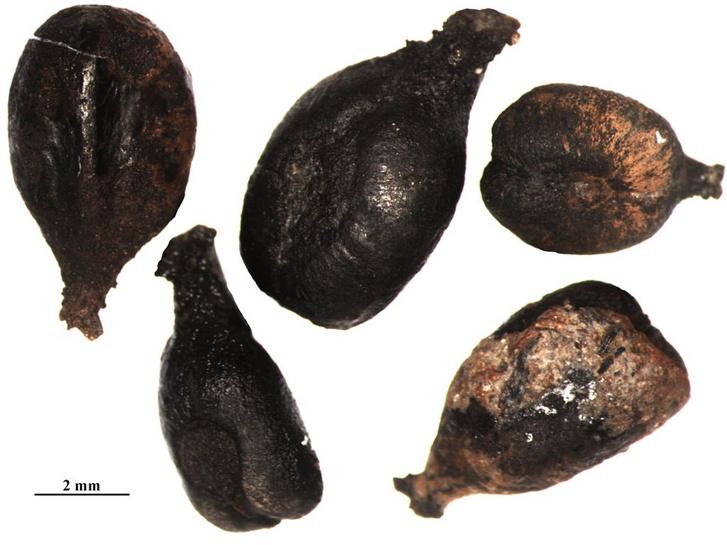 Néhány régészeti ásatások alkalmával talált szőlőmag