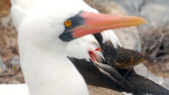 A vámpír földipinty a Galápagos-szigeteken sokkal érdekesebb, mint a teknősök