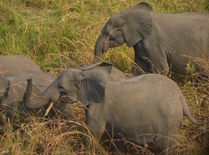 Elefántcsalád a Kongói Demokratikus Köztársaságban.