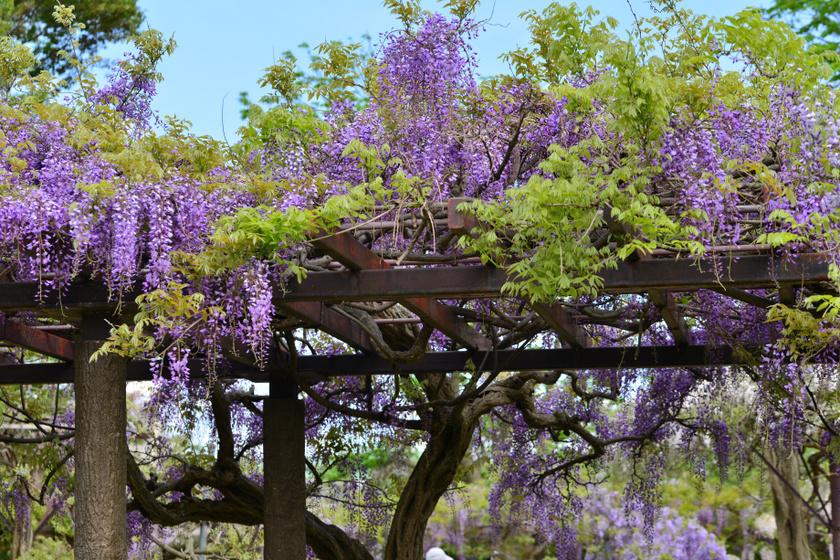 A japán lilaakác illata az alkonyi órákban a legerősebb, beborítja az egész kertet. Ez a futónövény 6-10 méterre is felkúszik, és dús, lila-fehér fürtökben virágzik.