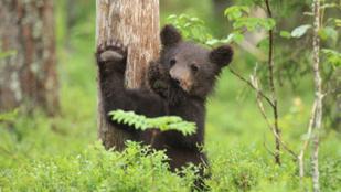 Megöltek egy medvebocsot, mert túl barátságos volt