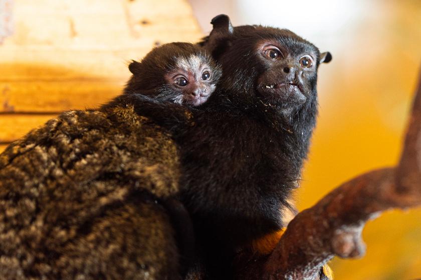 Apró majmocskák születtek a Nyíregyházi Állatparkban: übercuki fotók