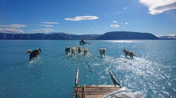Vízben gázolnak a grönlandi szánhúzó kutyák