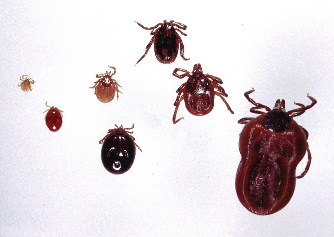 Ixodes-ricinus-life-cycle