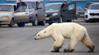 Iparvárosba tévedt egy éhező jegesmedve