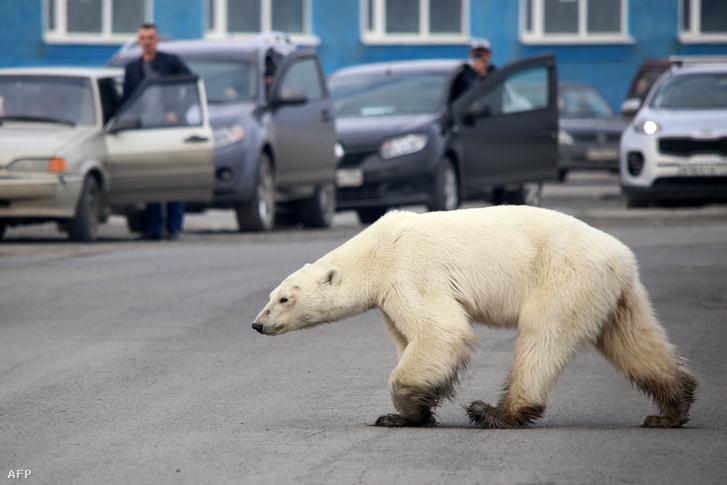Jegesmedve az észak-szibériai Norilszkban 2019. június 17-én