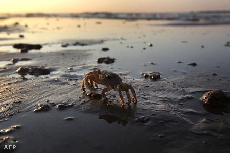 Tarisznyarák a Lousiana-i tengerparton Grand Isle-nál.
