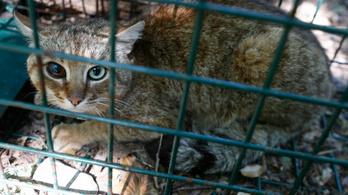 Mítikus macskarókát találtak Korzikán
