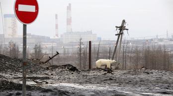 Nem eltévedt az orosz iparvárosban bóklászó jegesmedve, hanem eleve fogságban nevelhették fel