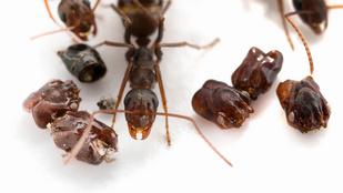 A koponyagyűjtő hangyák rejtélye