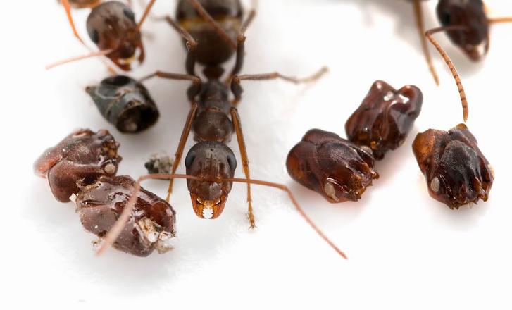 A koponyagyűjtő hangyák titokzatos világa